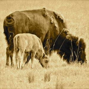 "Santa Fe Marketplace ""Bison"" print of original art by William Rotsaert"